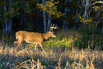 8-point white-tailed buck in the late afternoon sun