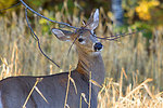 Young white-tailed buck rubbing on a licking branch