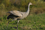 Juvenile sandhill crane about to fly away
