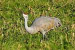 Sandhill crane drinking from a pothole in a field