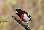 Male rose-breasted grosbeak in spring