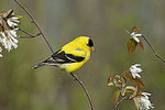 Male American goldfinch in spring