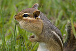 Eastern chipmunk in spring