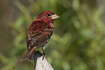 Male purple finch in spring