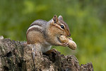 Eastern chipmunk with peanut