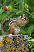 Eastern chipmunk in summer