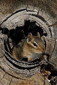 Eastern chipmunk sitting in log cavity