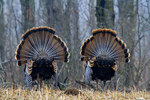 Male eastern wild turkeys