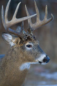 13-point white-tailed buck