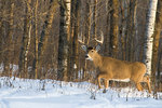 10-point white-tailed buck in winter