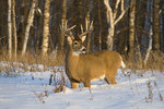 10-point white-tailed buck standing in deep snow