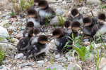 Common merganser ducklings