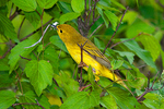 Female yellow warbler taking nesting material to her nest