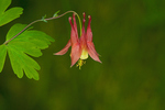 Wild Columbine in a northern forest