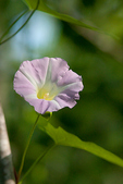 Bindweed - Convolvulus sepium