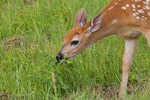 White-tailed fawn foraging in a summer field