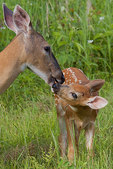White-tailed doe grooming her fawn
