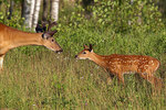 White-tailed buck and fawn meet in a summer field