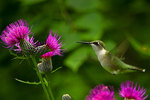 Swamp thistle and ruby-throated hummingbird