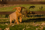 Golden retriever puppy running
