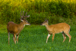 Yearling buck and mature white-tailed buck