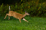 White-tailed doe running