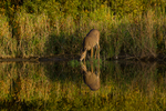 White-tailed doe taking a drink of water
