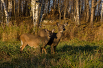 White-tailed doe and fawn in autumn