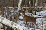White-tailed buck in a winter forest