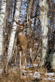 White-tailed buck at the edge of a forest
