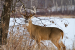 White-tailed buck standing next to a frozen lake