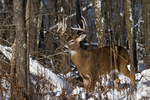 White-tailed buck deep in the winter forest