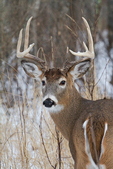 Portrait of a white-tailed buck
