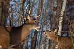 Mature white-tailed buck and a buck fawn
