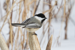 Black-capped chickadee perched on a deer antler