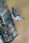 White-breasted nuthatch on a suet feeder