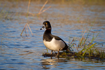 Ring-necked duck in spring