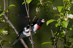Male rose-breasted grosbeak eating a moth