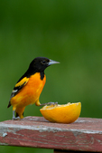 Male Baltimore Oriole with an orange