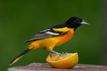 Male Baltimore Oriole standing on an orange