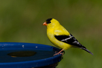 American Goldfinch (male) perched on a bird bath