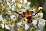 Hummingbird clearwing moth feeding on a blackberry bush
