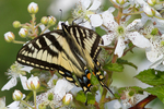 Eastern tiger swallowtail butterfly feeding on a blackberry bush