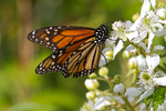 Monarch butterfly feeding on a blackberry bush