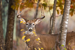 White-tailed buck in an autumn forest