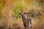 View of a large white-tailed buck from the back