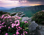 Carolina Rhododendron on the rim of the Linville Gorge, Spring