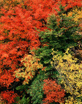Red Maple, Mountain Ash, Beech, Red Spruce and Rhododendron Medley