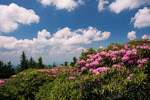 Catawba Rhododendron on Round Bald, Roan Mountain, Tennessee-North Carolina, summer