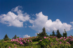 Catawba Rhododendron on Grassy Ridge, Roan Mountain, Tennessee-North Carolina, summer